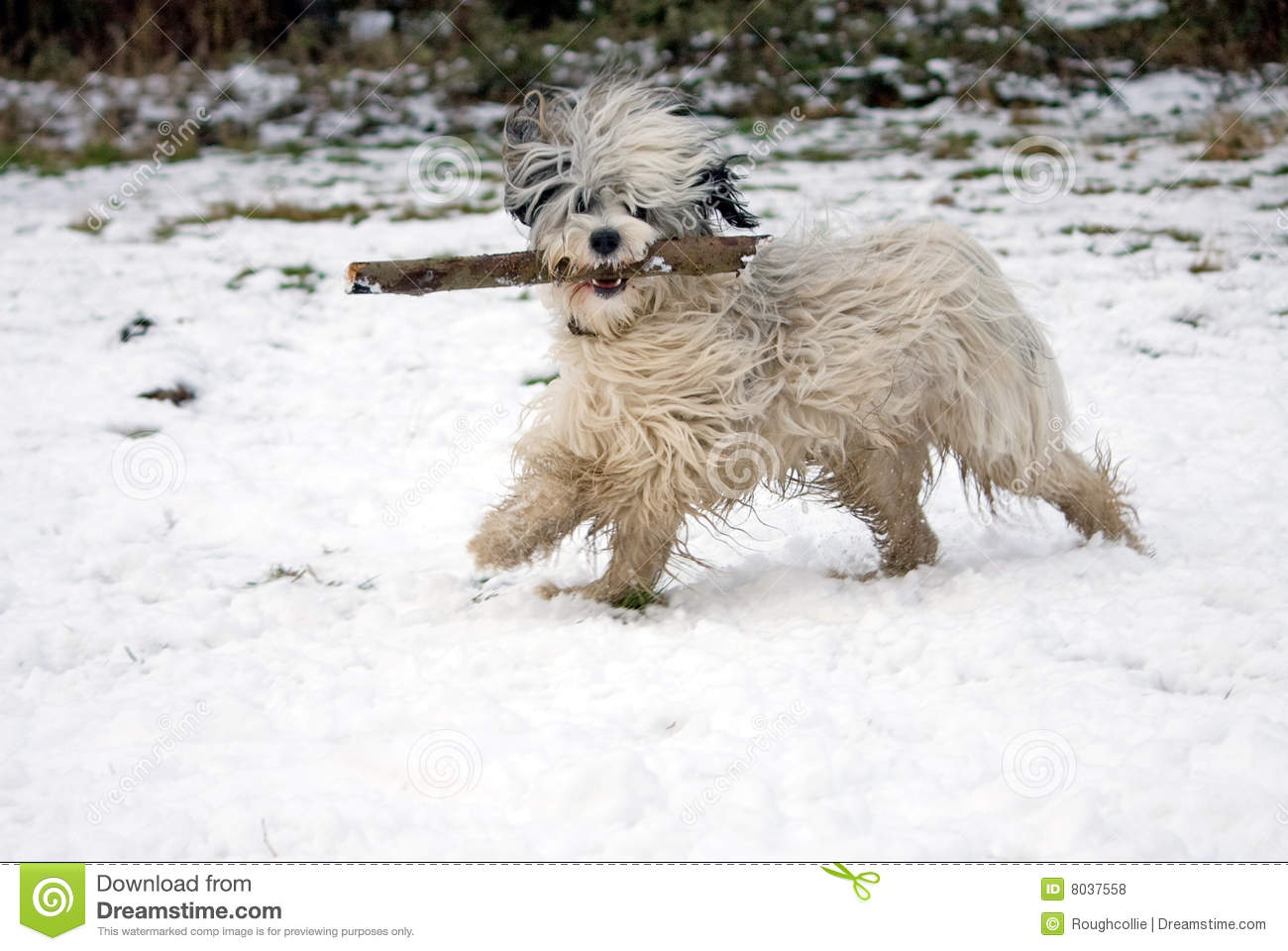 Funny Dog In Snow Stock Photo Image Of Terrier Happy