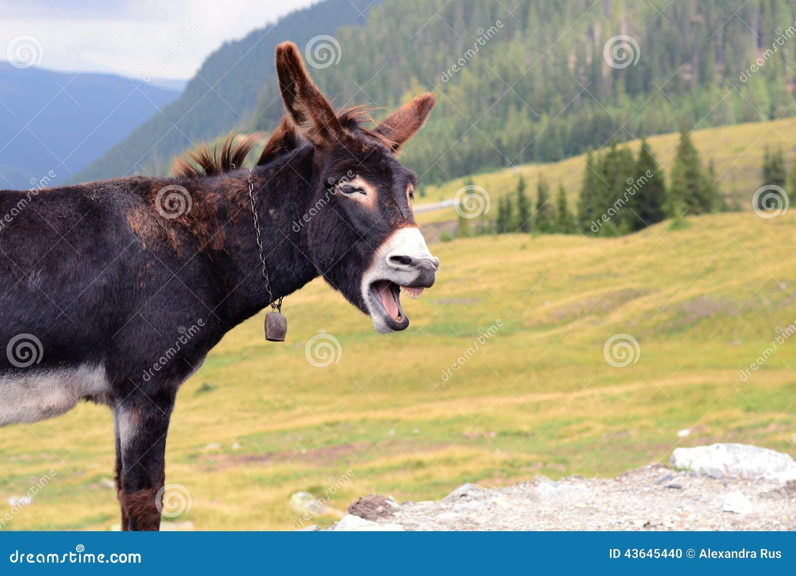 funny donkey laughing stock photo   image 43645440