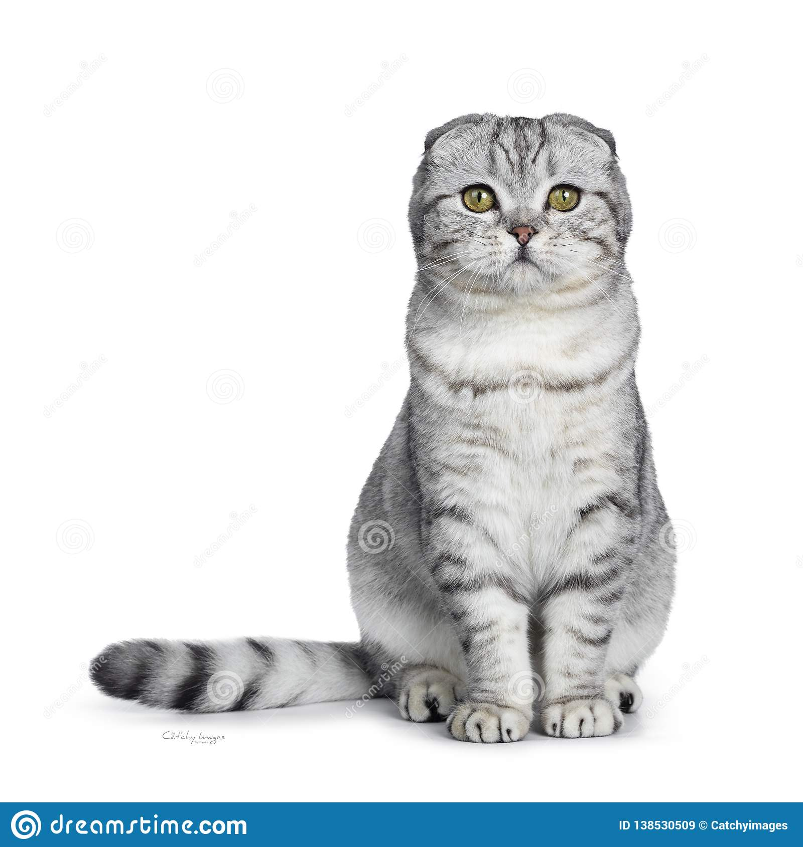 Cute Young Silver Tabby Scottish Fold Cat Kitten Isolated On White Background Stock Image Image Of Nugget Fold 138530509