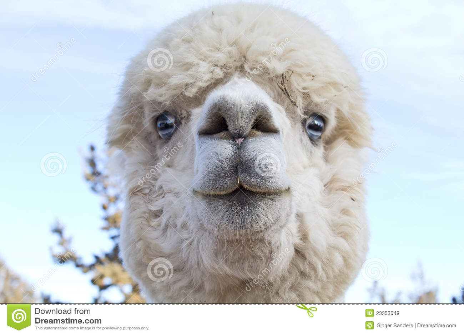 funny face white alpaca close up royalty free stock photos