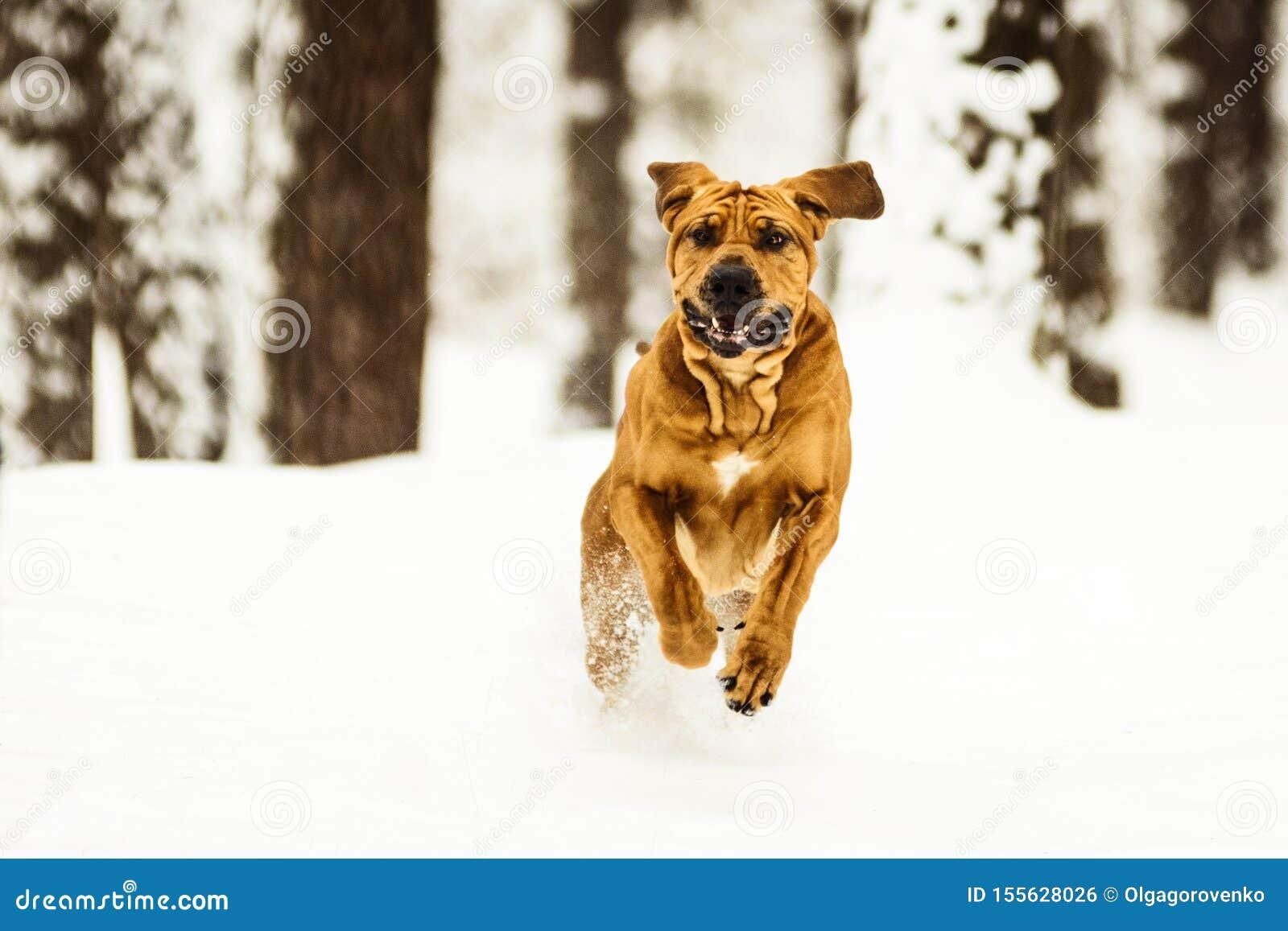 Adult Fila Brasileiro having fun in snow