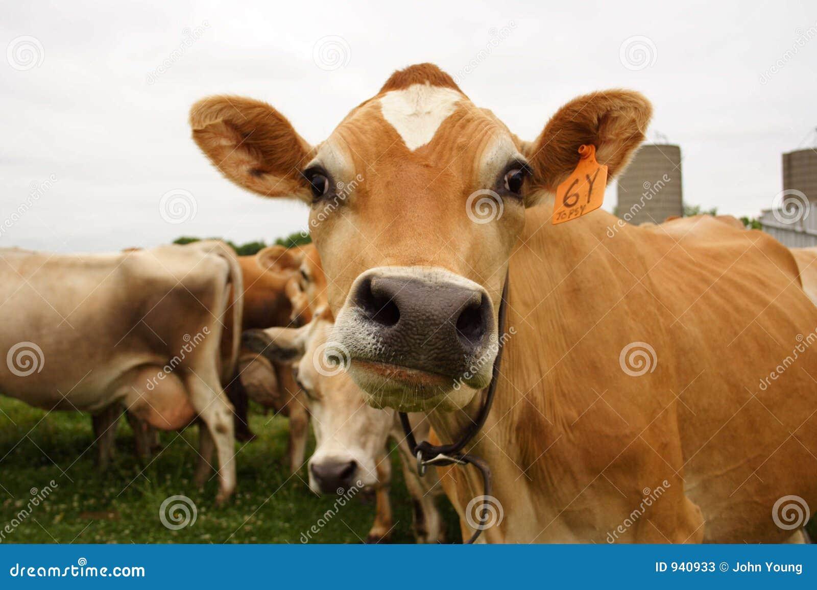 Funny Faced Cow Stock Photos - Image: 940933