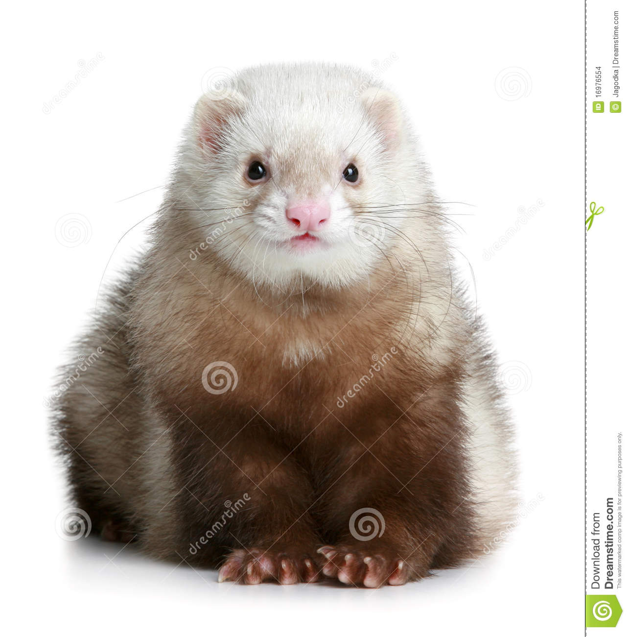 Funny ferret stock photo. Image of obedience, creature ... | 1285 x 1300 jpeg 133kB