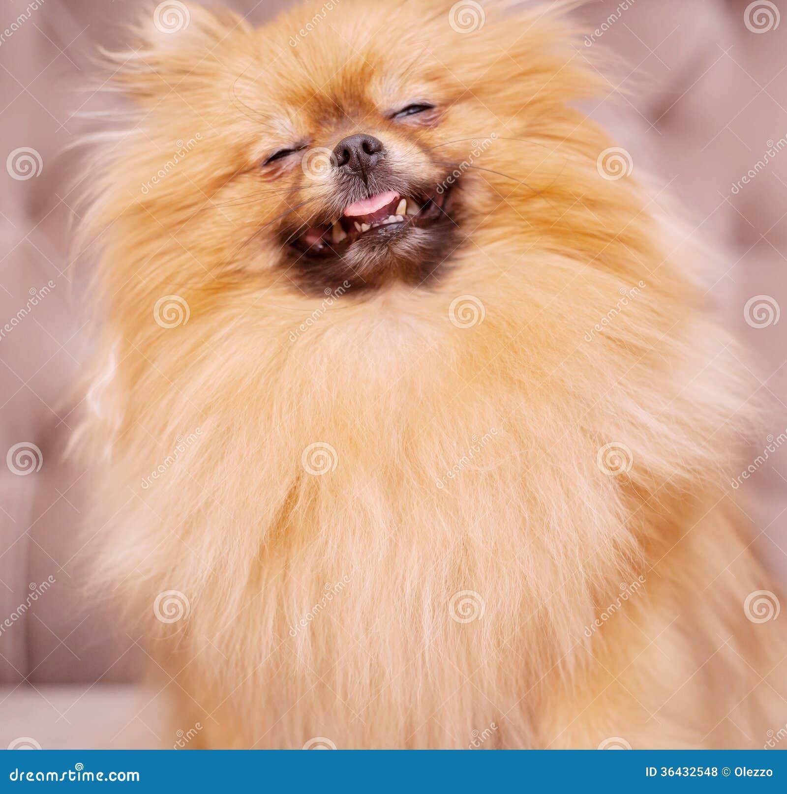 Funny And Fluffy Pomeranian Royalty Free Stock Photos