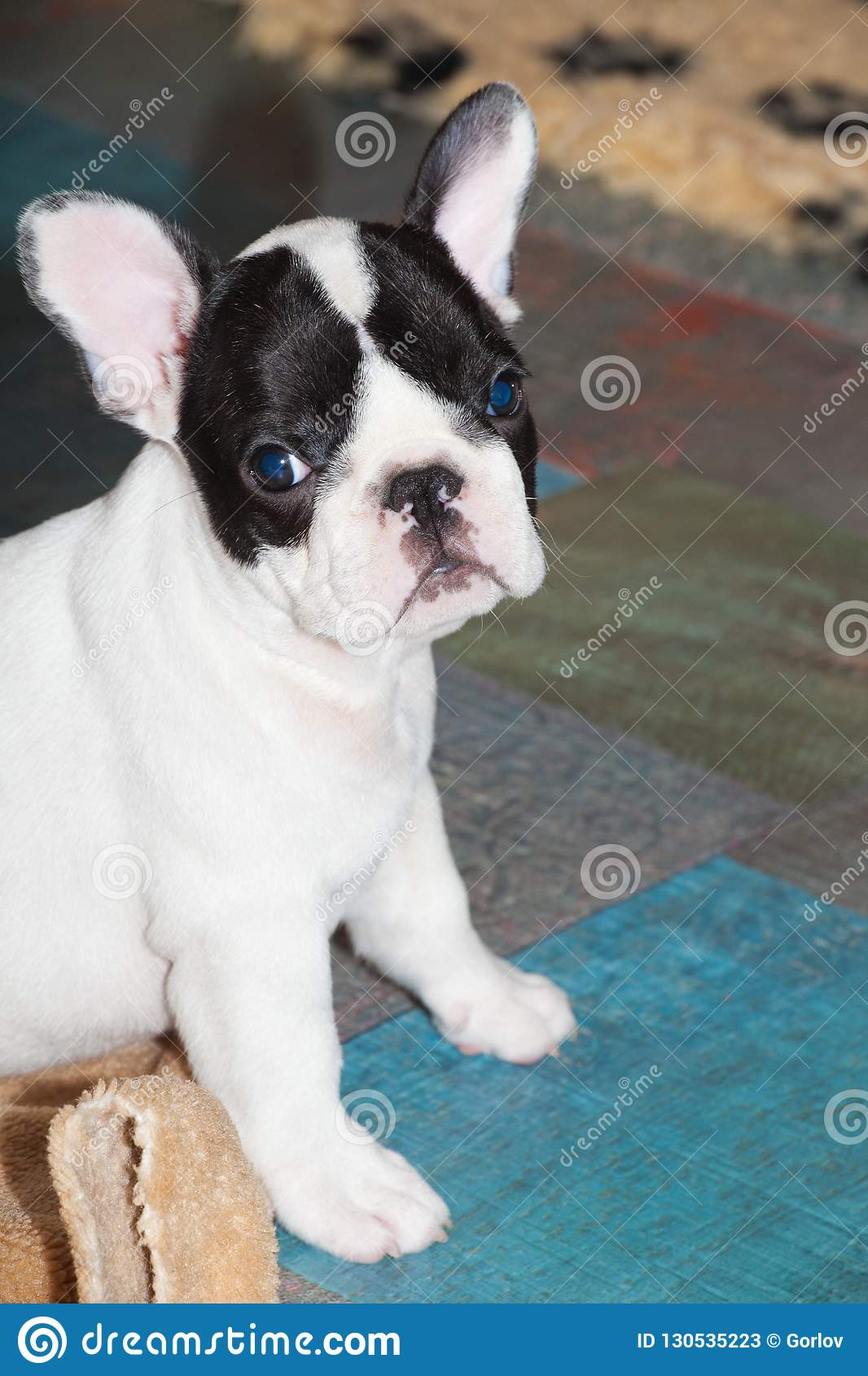 Funny French Bulldog Puppy Stock Image Image Of Look 130535223