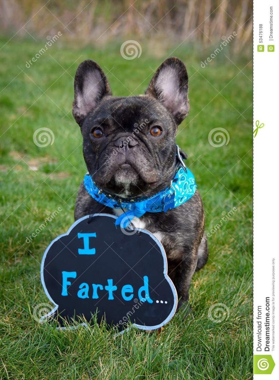 Funny Frenchie Stock Photo - Image 53476188-6052