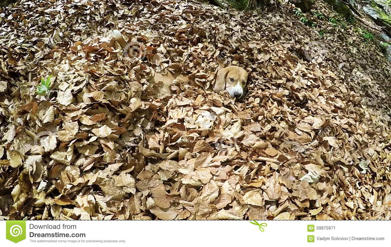 funny frenzied beagle digging itself up in the leaves of a deciduous