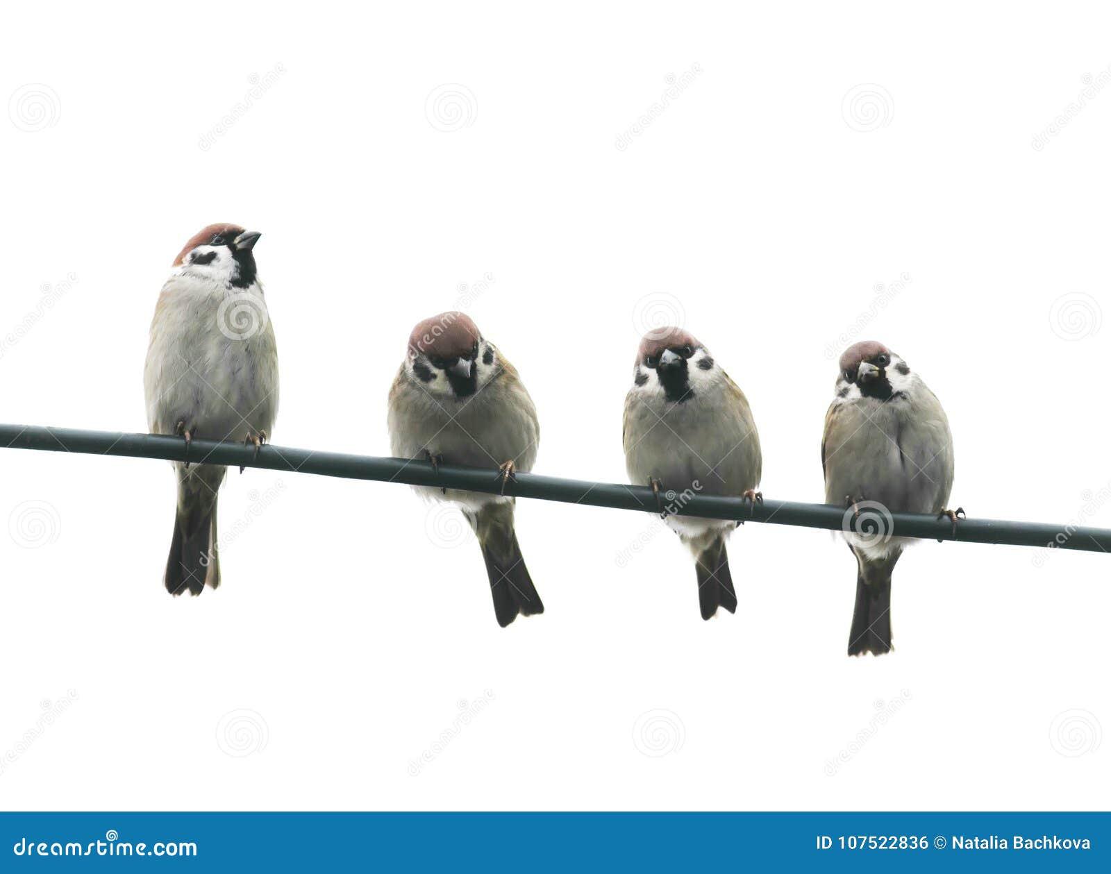 friendly little birds sitting on a wire on white sky backg