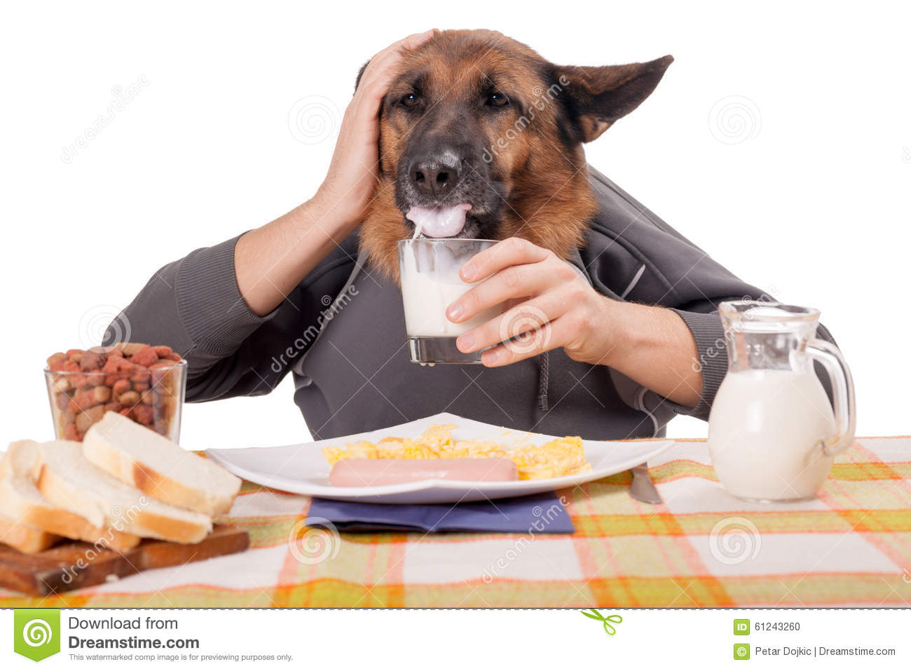 Funny German Shepherd Dog With Human Arms And Hands Drinking Milk