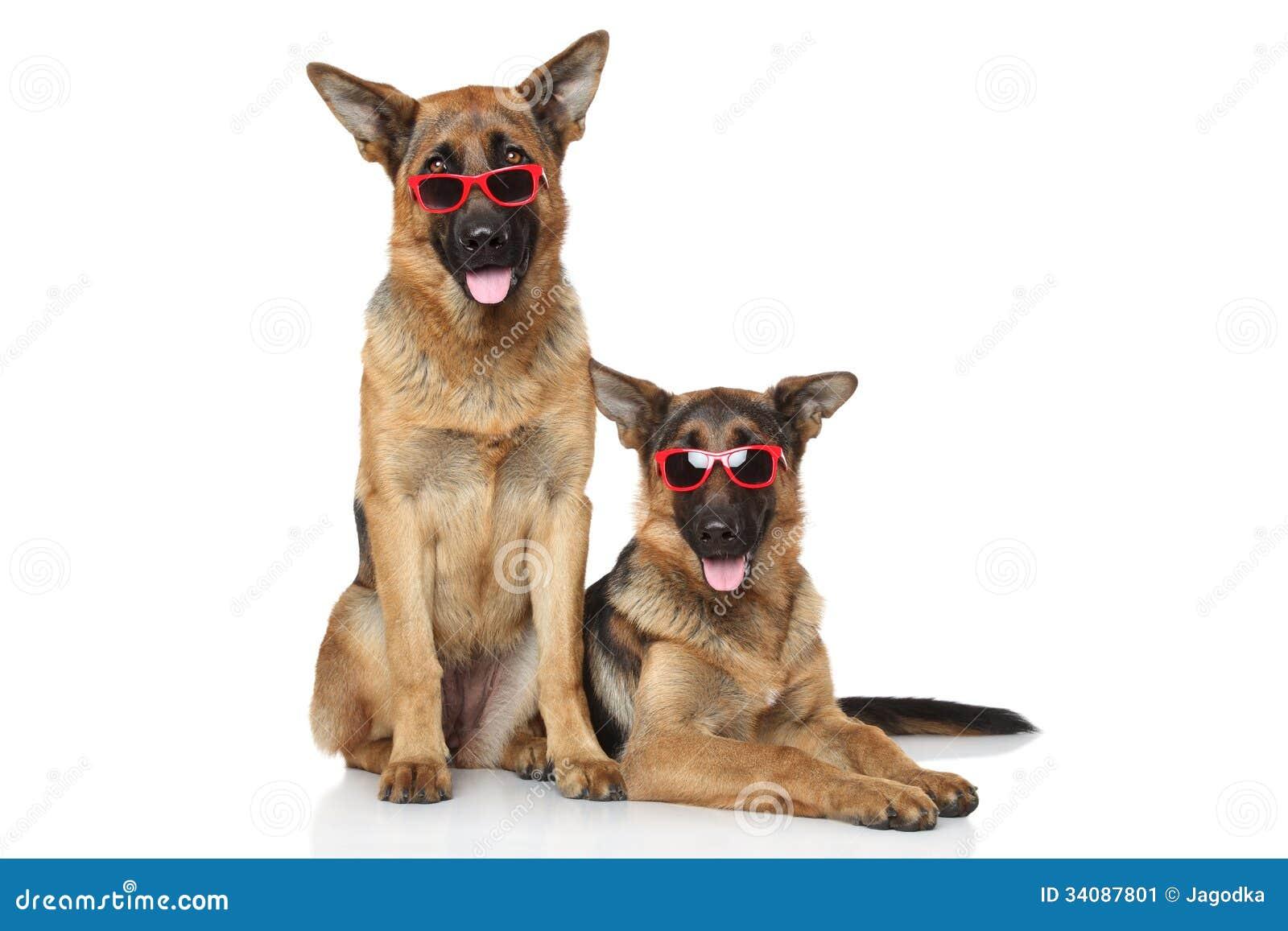 Funny German Shepherd dogs in sunglasses