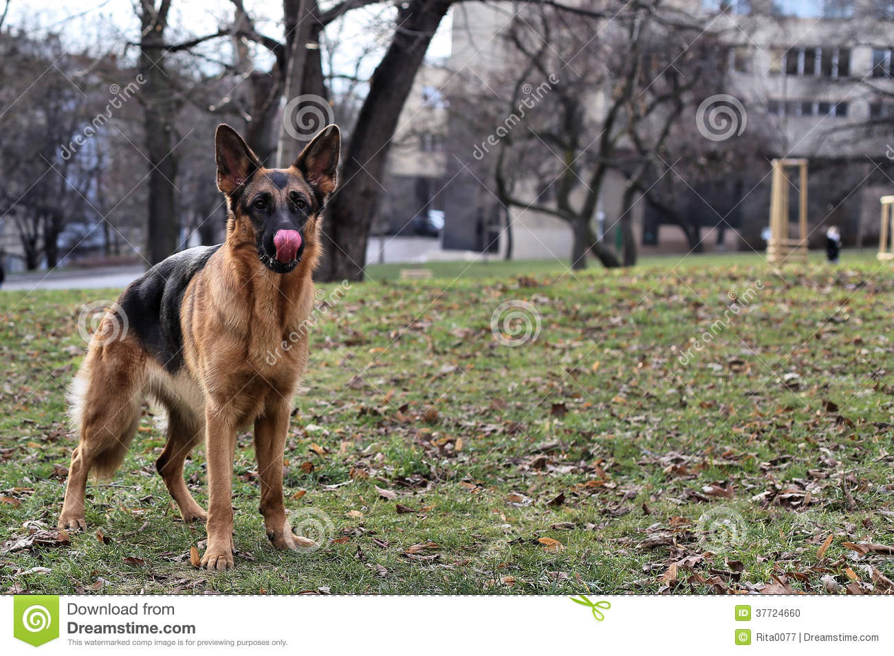 Funny German Shepherd On The Grass Stock Photo Image Of Loyalty