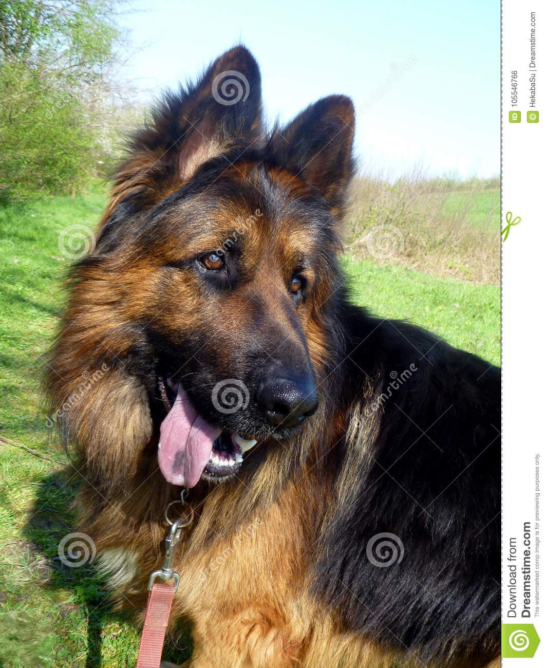 Funny German Shepherd With Open Mouth And Strange Look In His Eyes