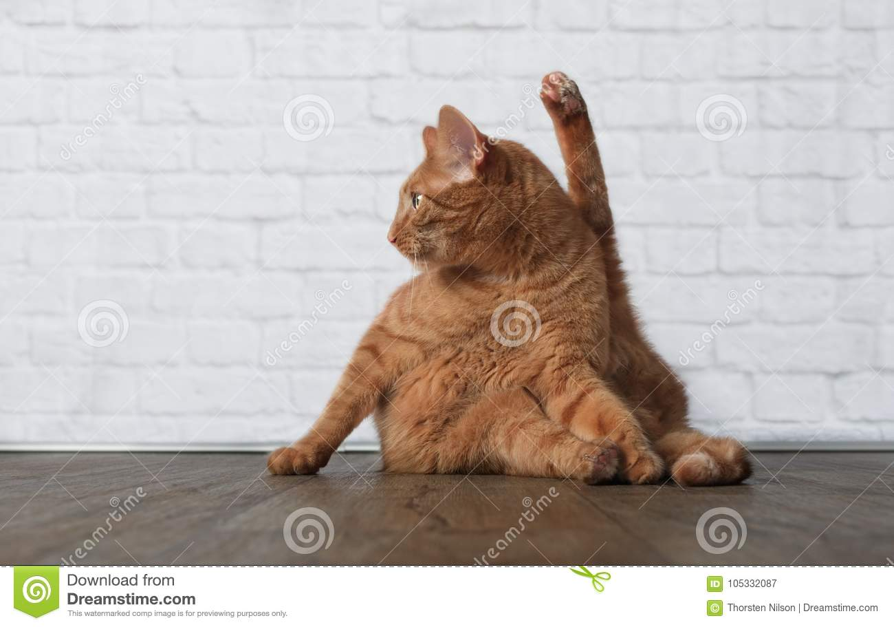 Funny Ginger Cat Makes Yoga Exercices Stock Image Image Of Pose Exercising 105332087