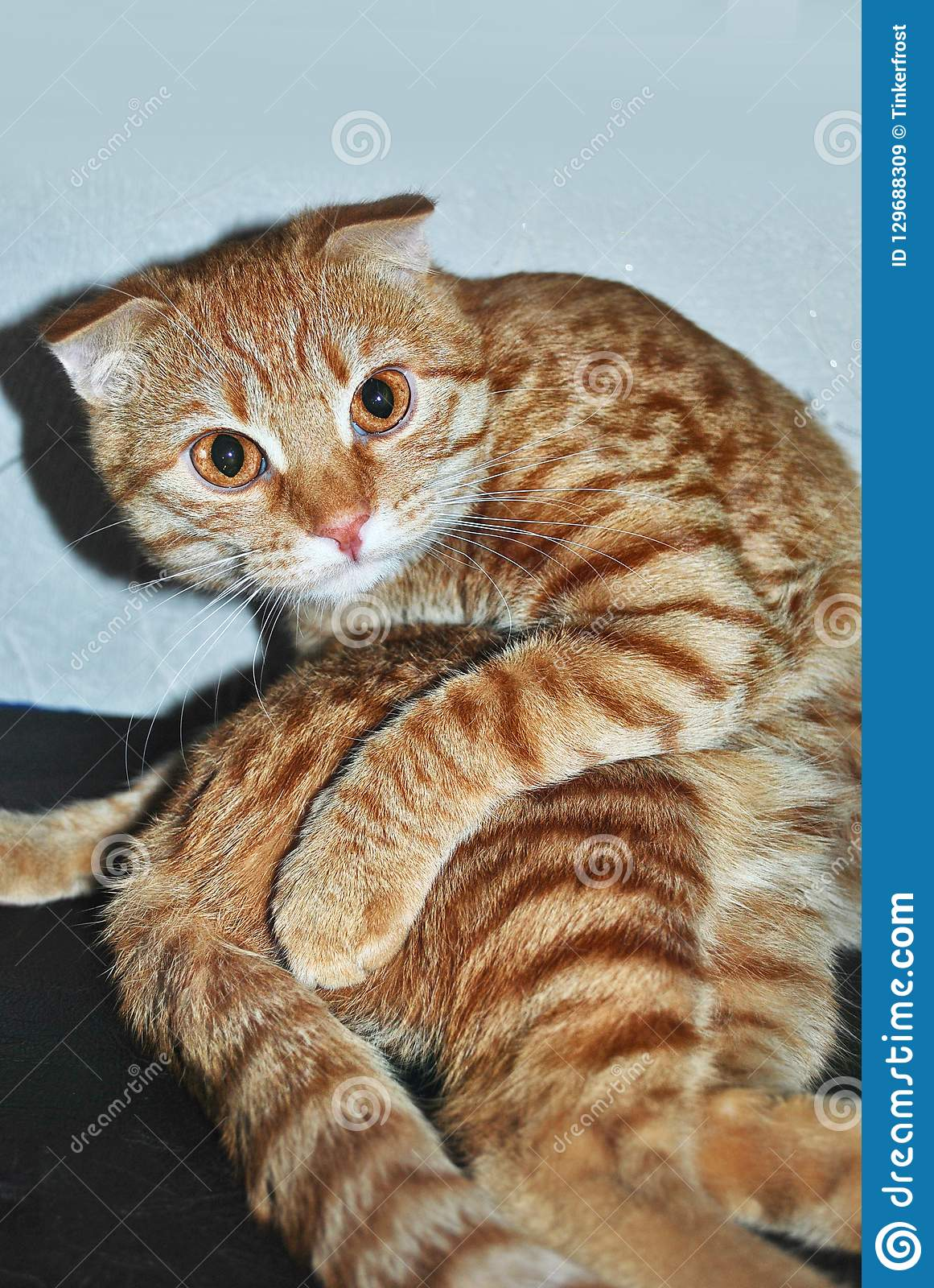Funny Ginger Cat In Yoga Pose Stock Image Image Of Portrait Ginger 129688309