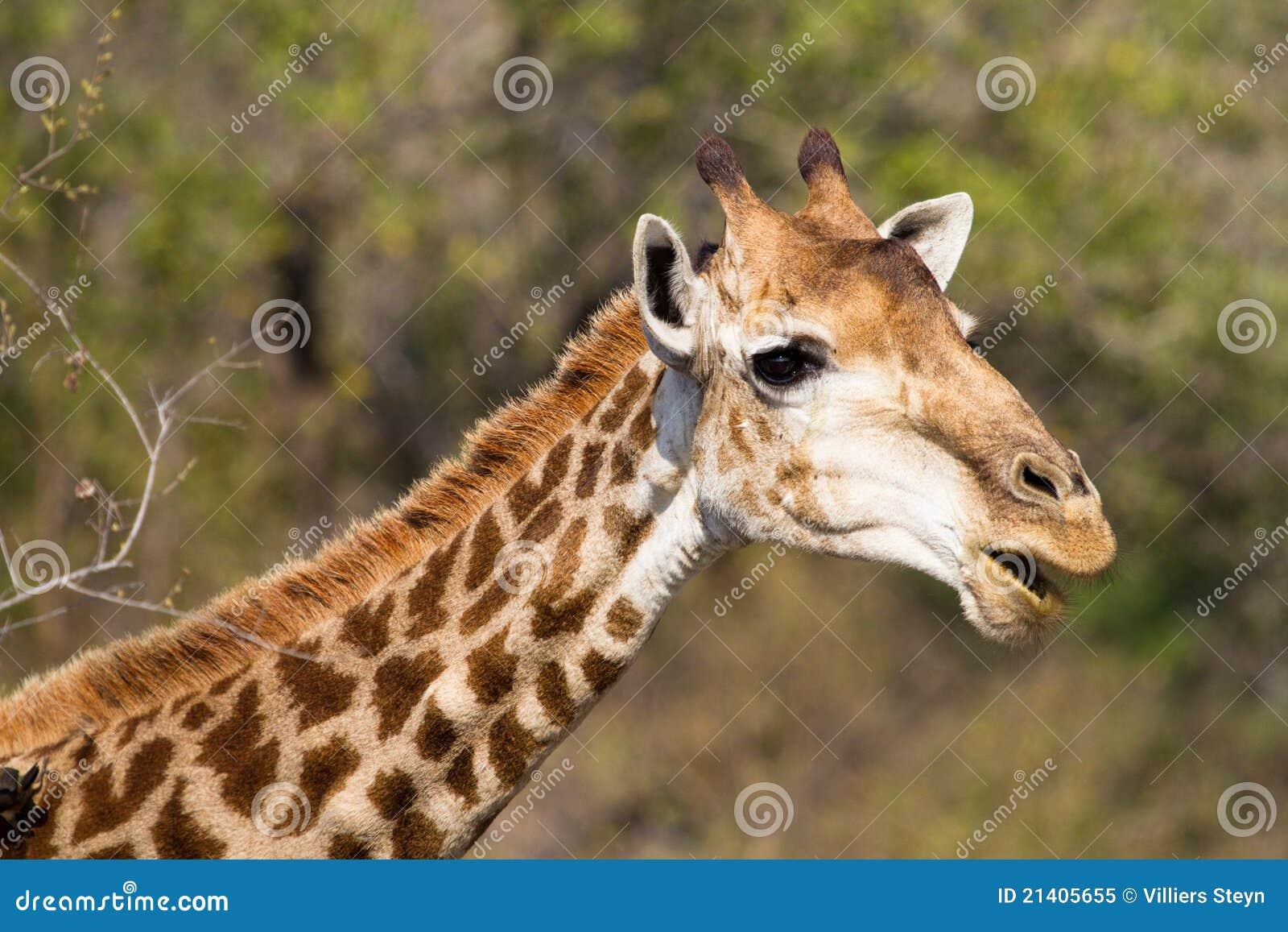 funny giraffe royalty free stock photo   image 21405655