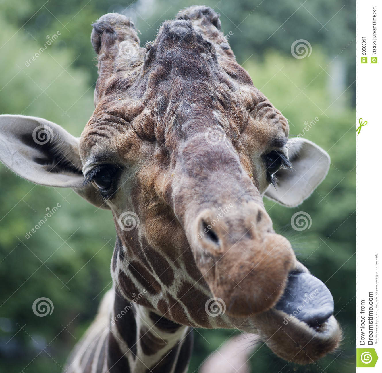 funny giraffe building faces royalty free stock photography