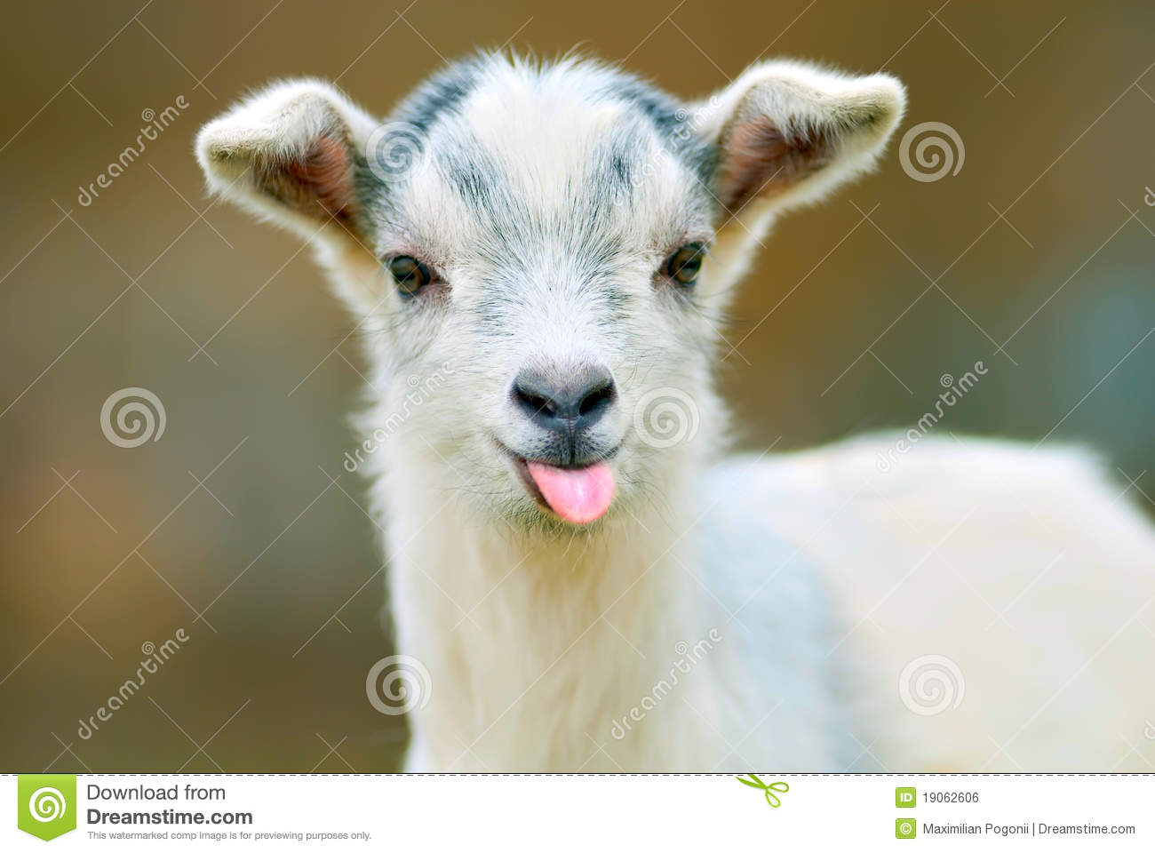 13 849 Funny Goat Photos Free Royalty Free Stock Photos From Dreamstime