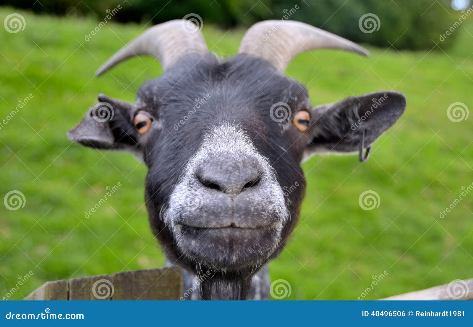 Funny Goat Stock Photo Image 40496506