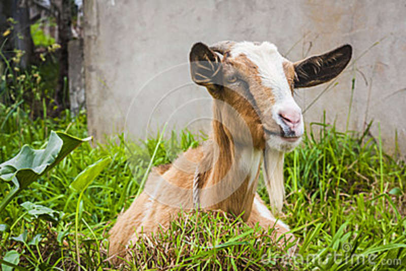 funny looking goat - photo #34