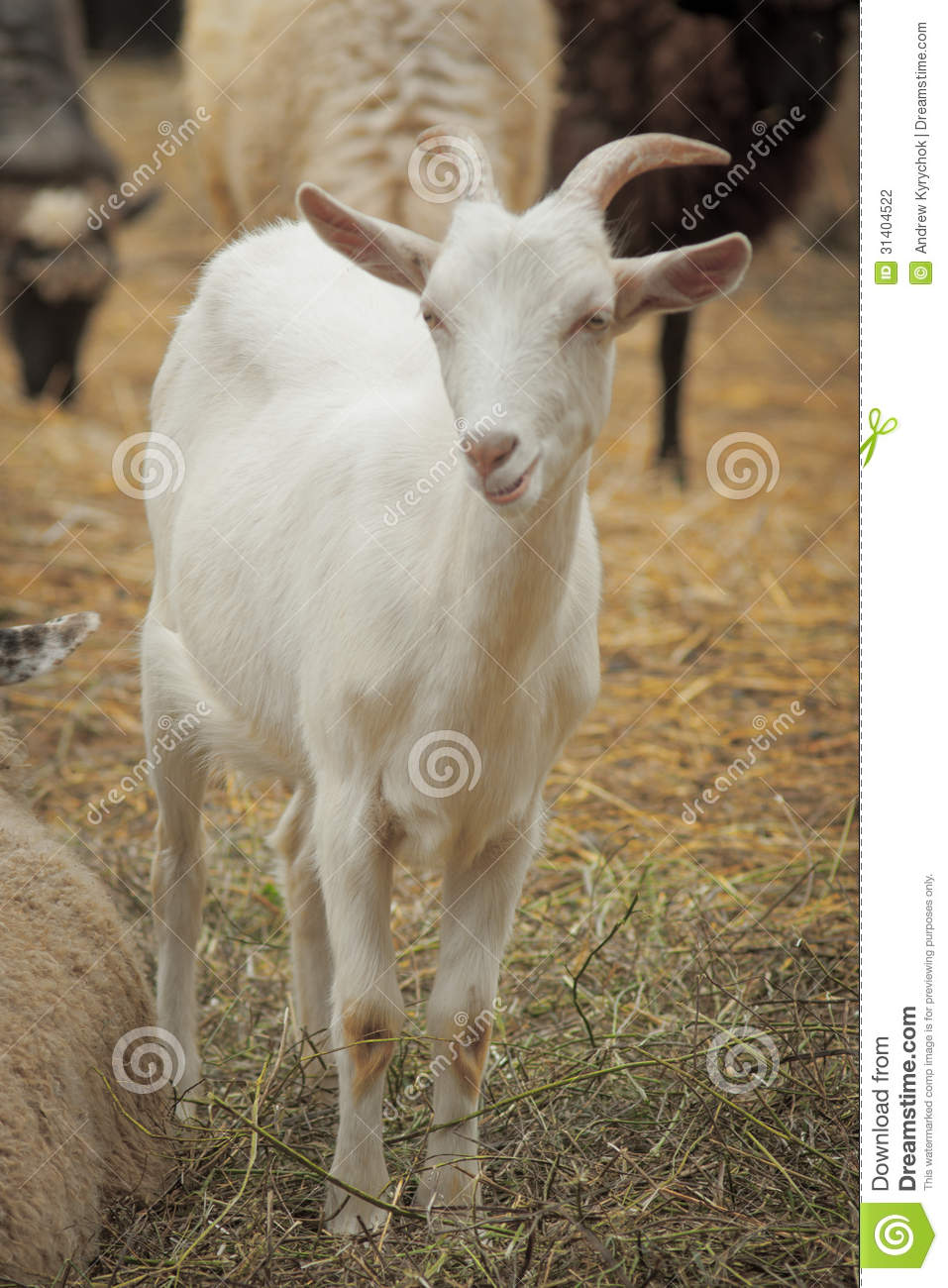 funny looking goat - photo #7