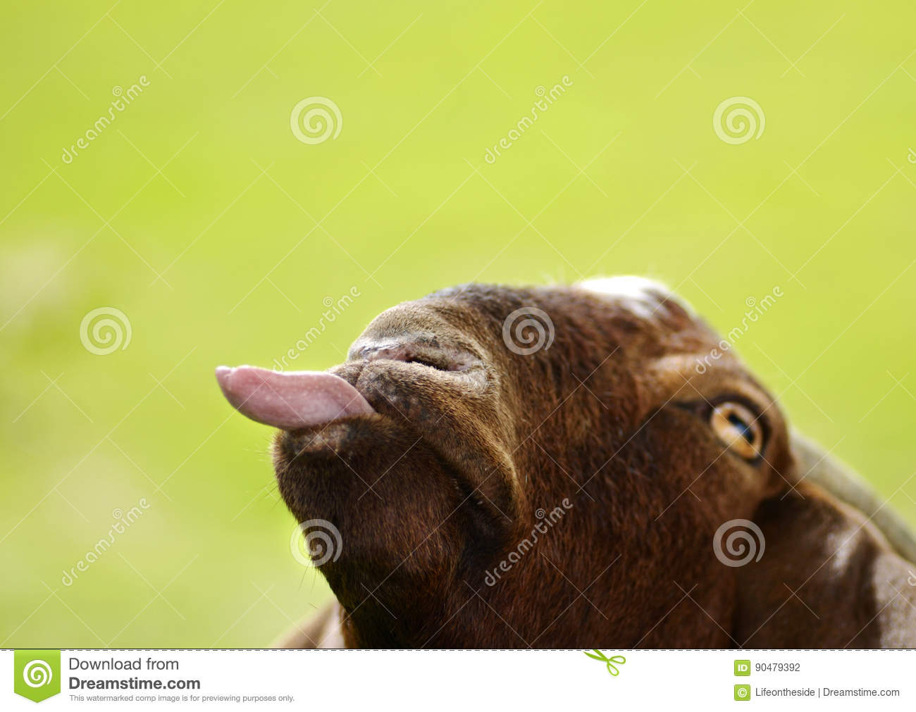 Funny goat poking tongue out isolated on green background