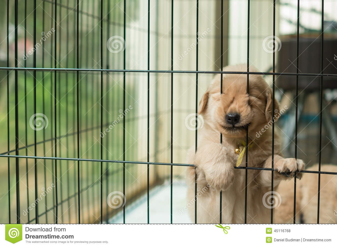 Funny Golden Retriever Puppy Trying To Escape Stock Photo - Image ...