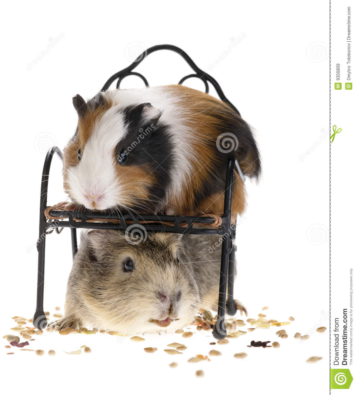 Funny guinea pigs stock image image of cavia cheese for Free guinea pig stuff