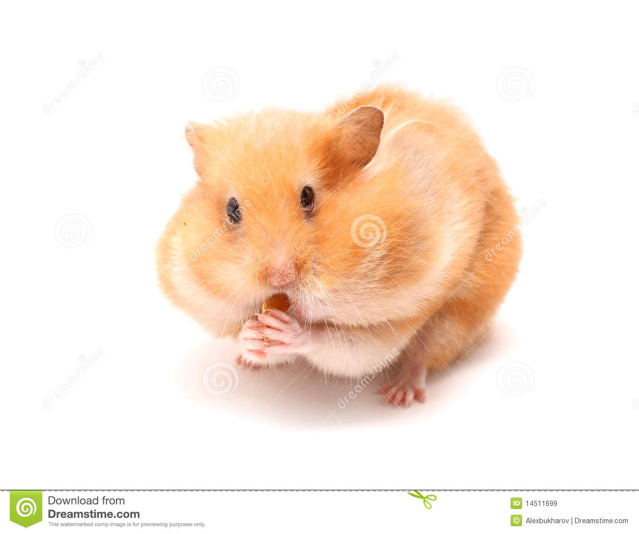 funny hamster stock image image of hungry rodent fluffy 14511699. Black Bedroom Furniture Sets. Home Design Ideas