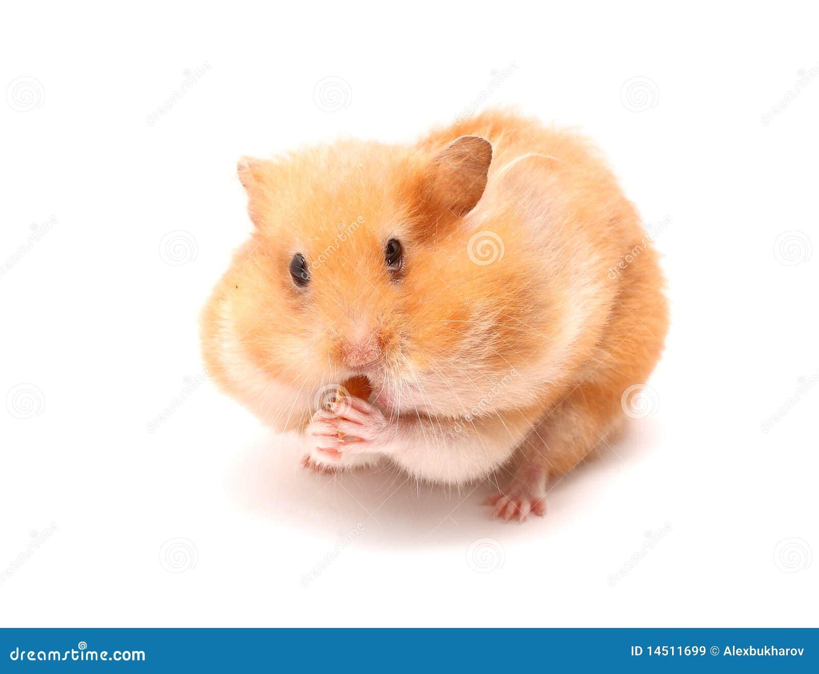 Hamster free videos