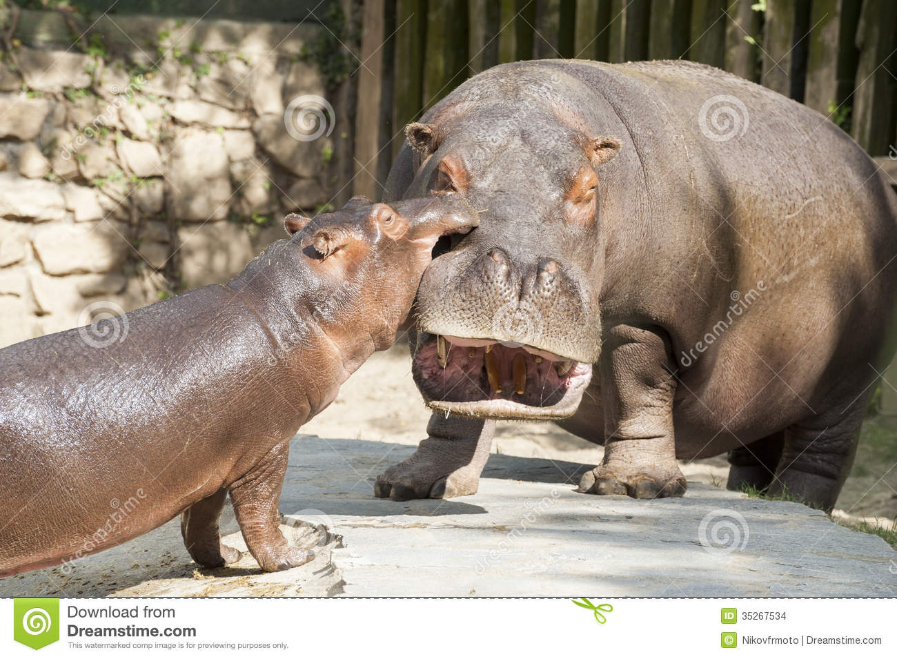 Interesting Pictures Funny: Funny Hippos Stock Photo. Image Of Play, Hippopotamus