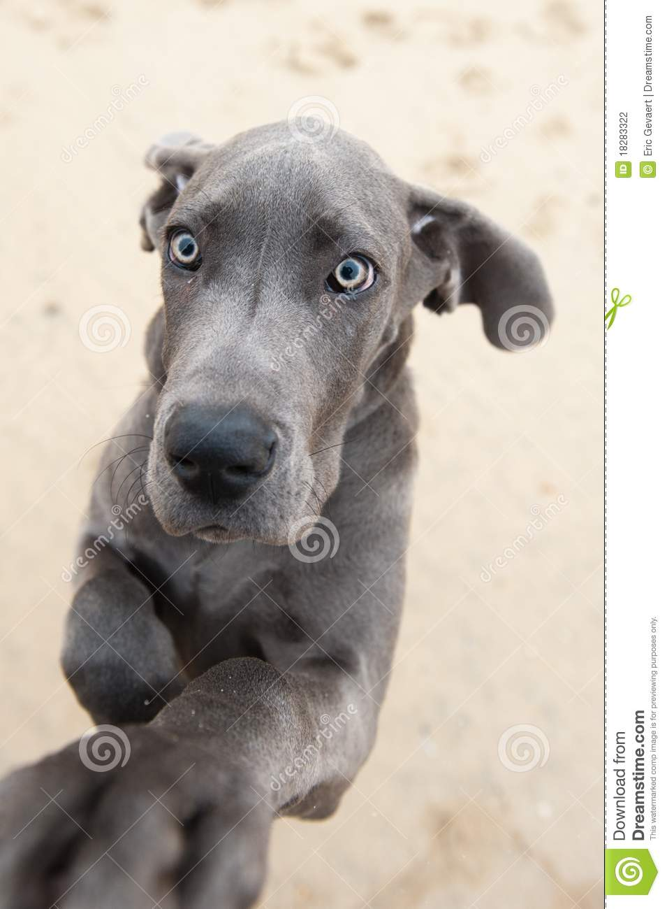Funny Image Of A Great Dane Puppy Stock Photography ...