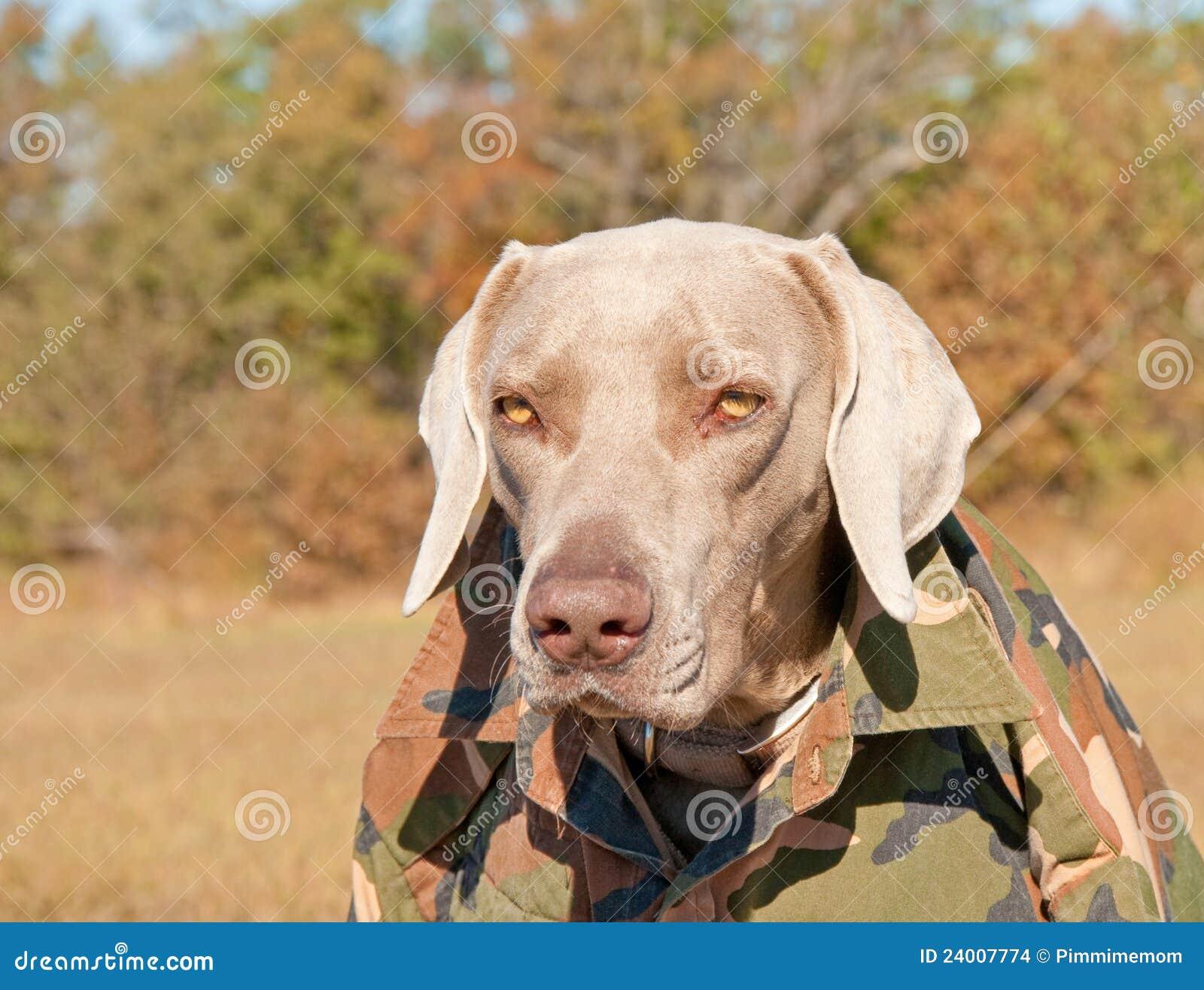 Funny Image Of A Weimaraner Dog Wearing A Camo Shi Stock