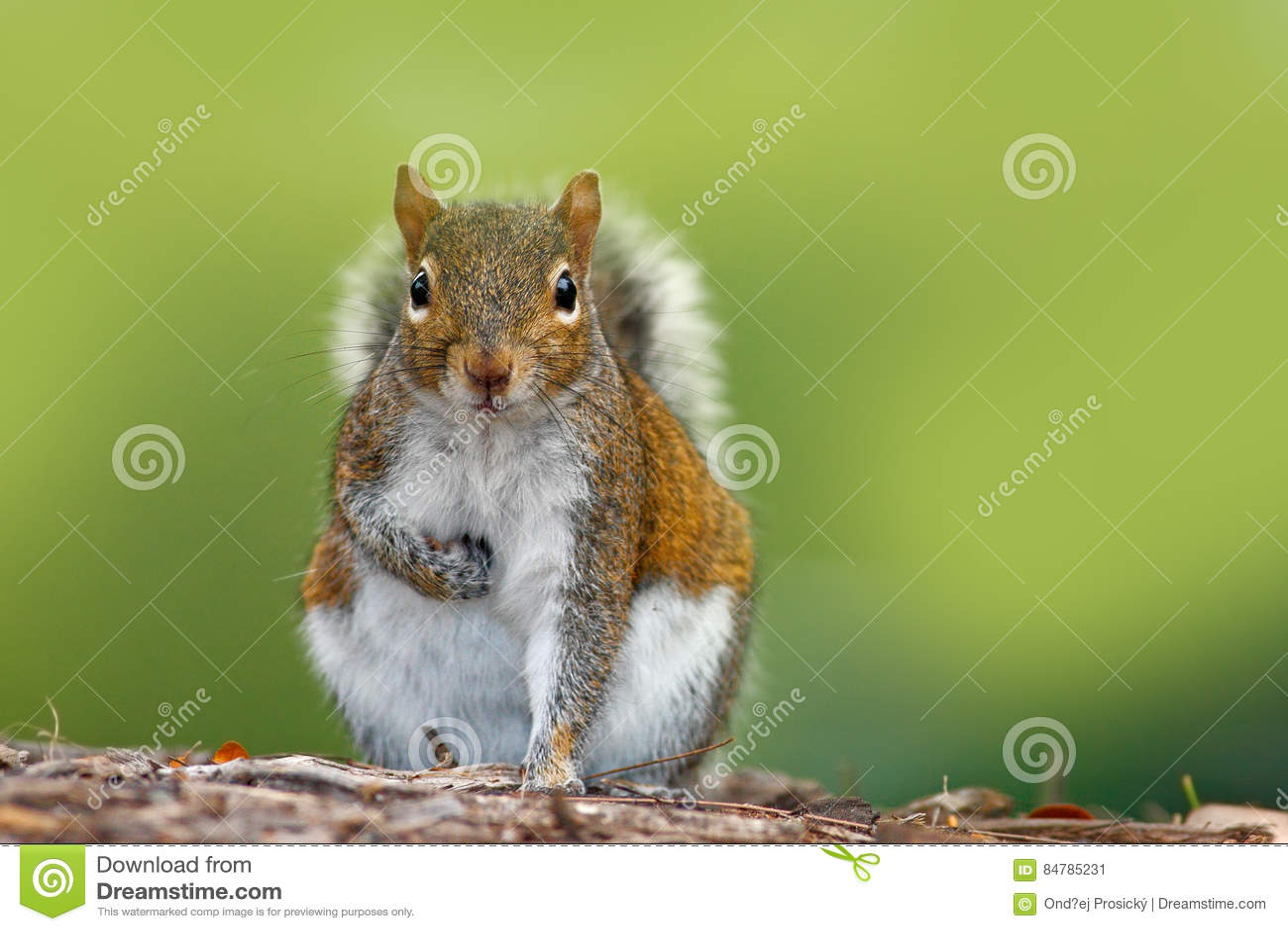 Funny image from wild nature. Gray Squirrel, Sciurus carolinensis, cute animal in the forest ground, Florida, USA. Squirrel sittin