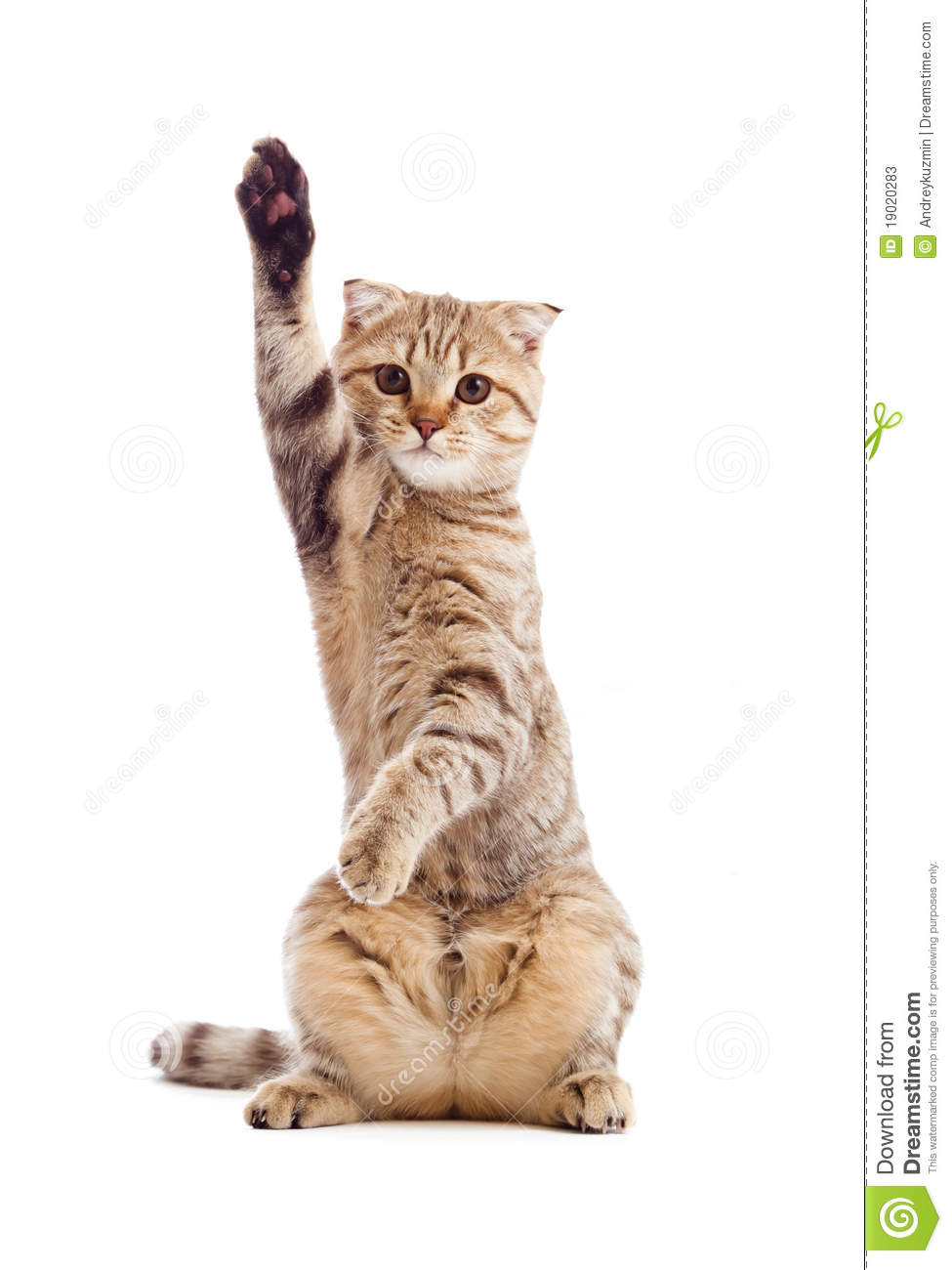 Funny Kitten Pointing Up By One Paw Isolated Stock Photos - Image ...