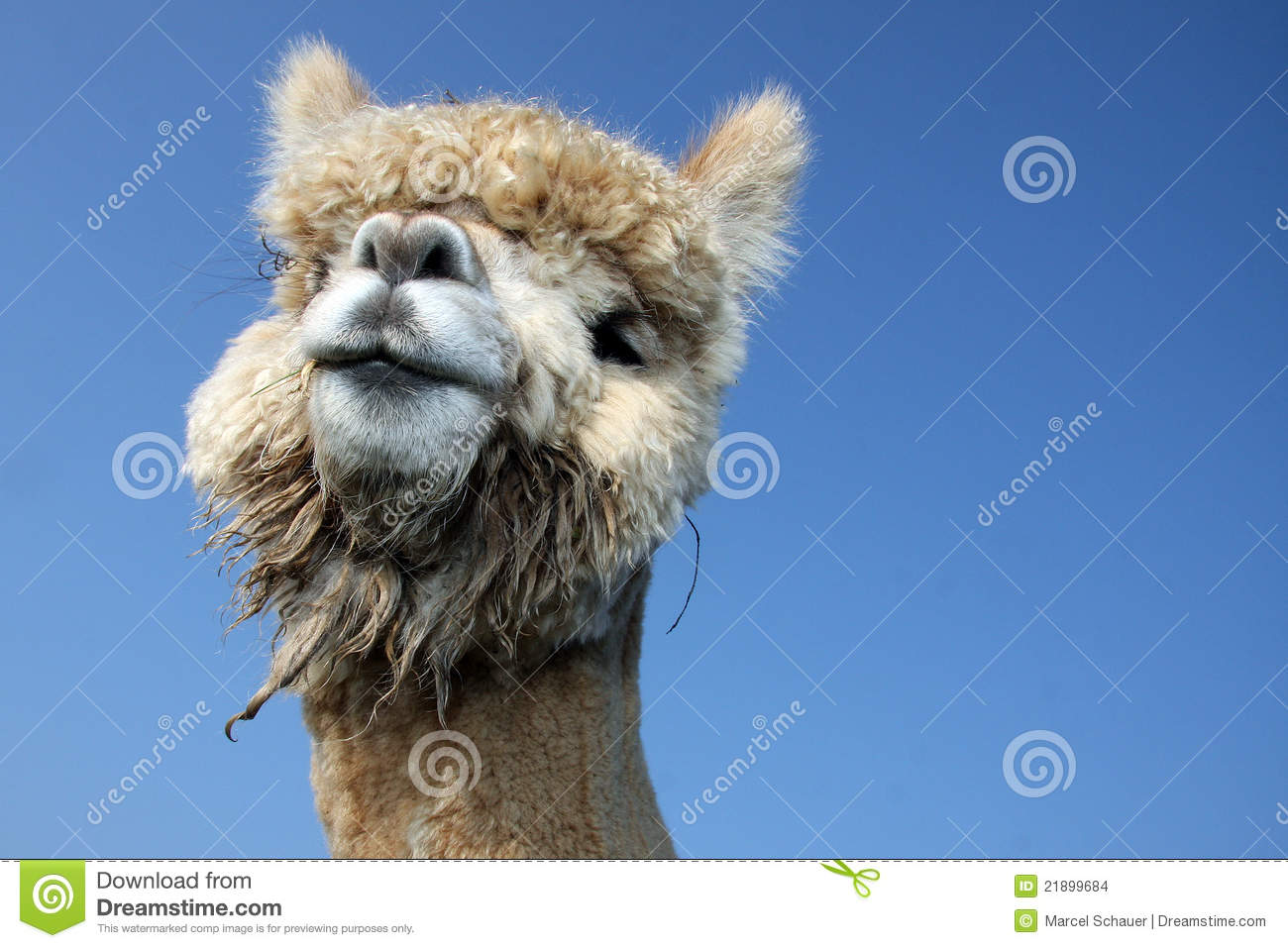 Funny Lama Stock Images - Image: 21899684