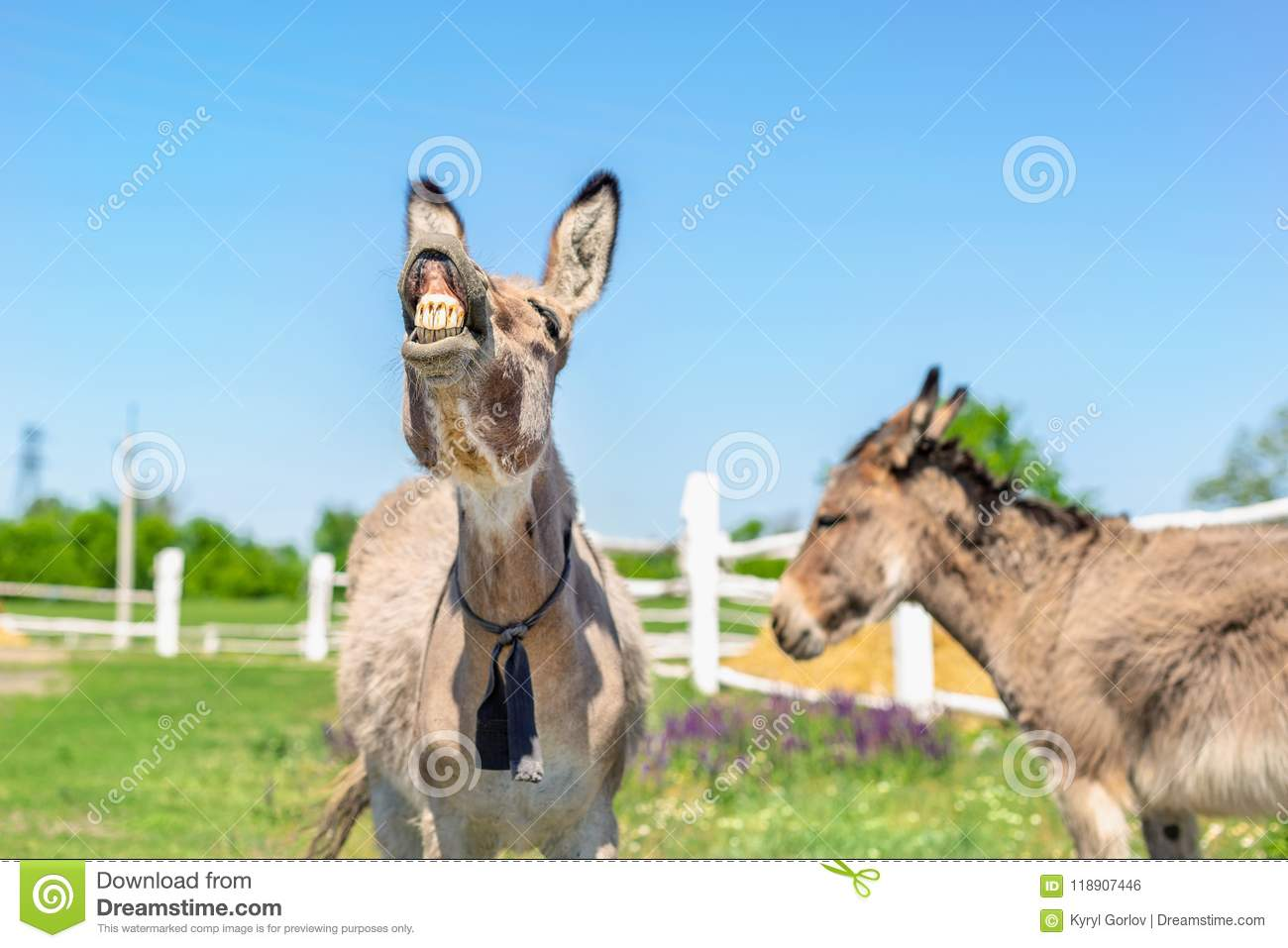 Funny laughing donkey. Portrait of cute livestock animal showing teeth in smile. Couple of grey donkeys on pasture at farm. Humor
