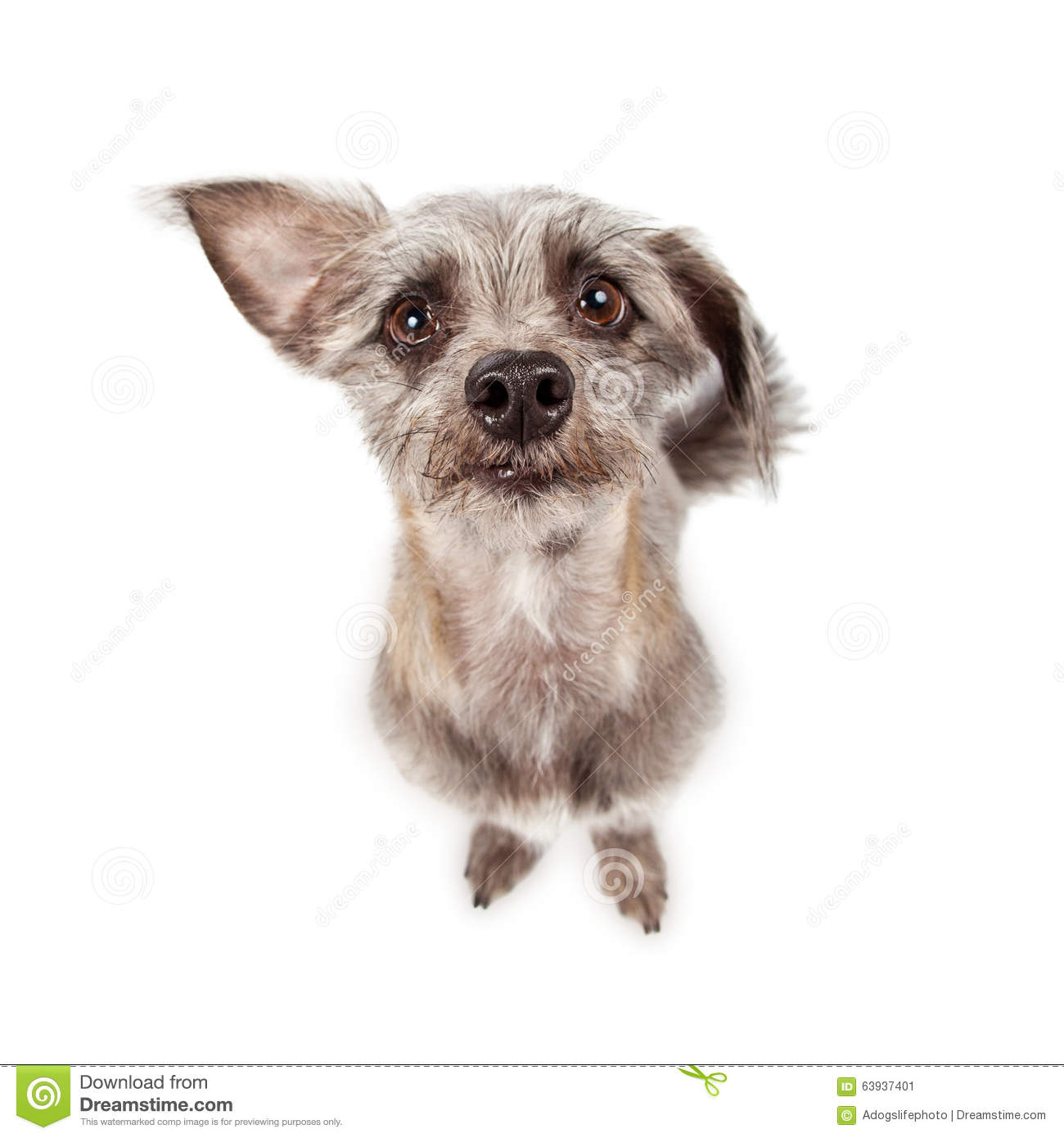 Funny Little Dog Looking Up Stock Image Image - Dogs looking funny with toys