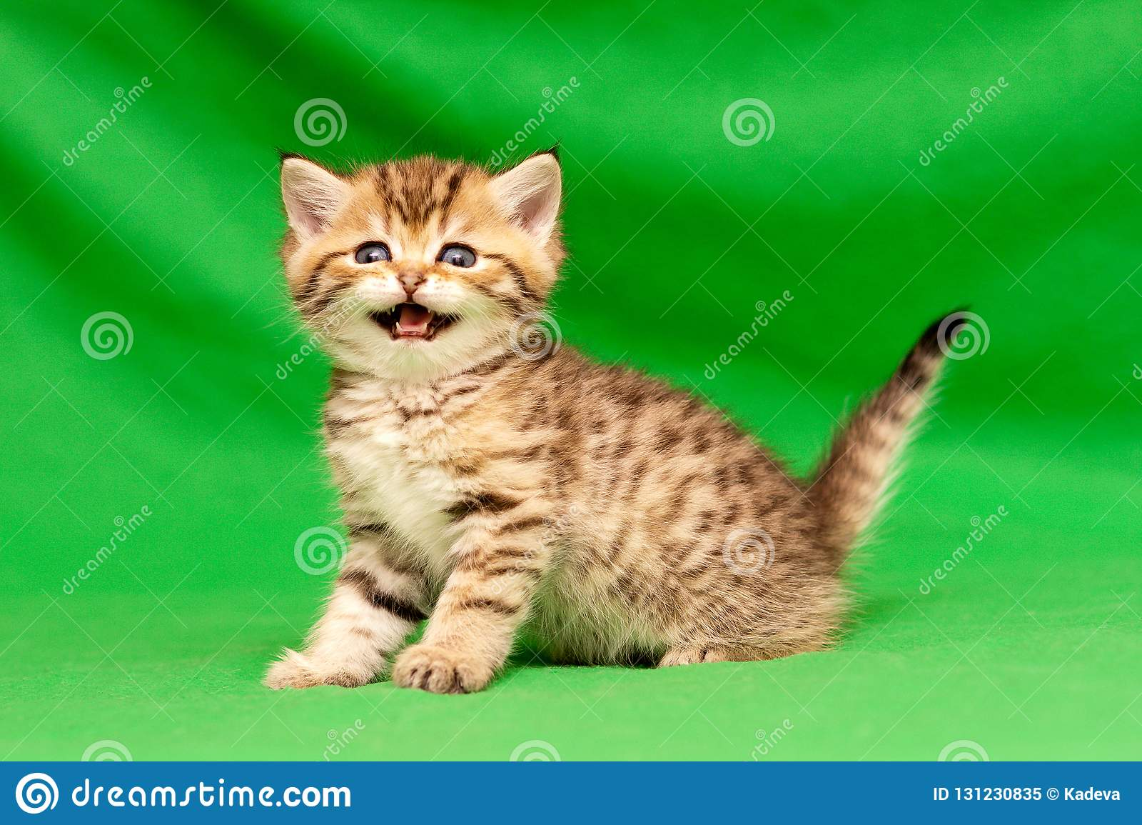 Funny little spotted Golden British kitten looks at the camera and says meow