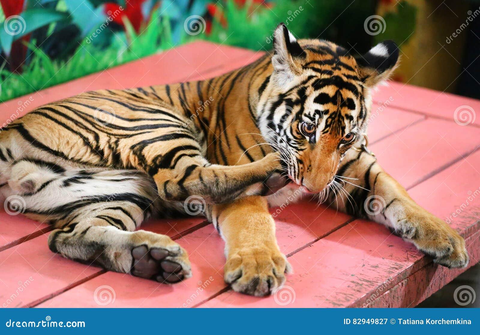 Funny little tiger