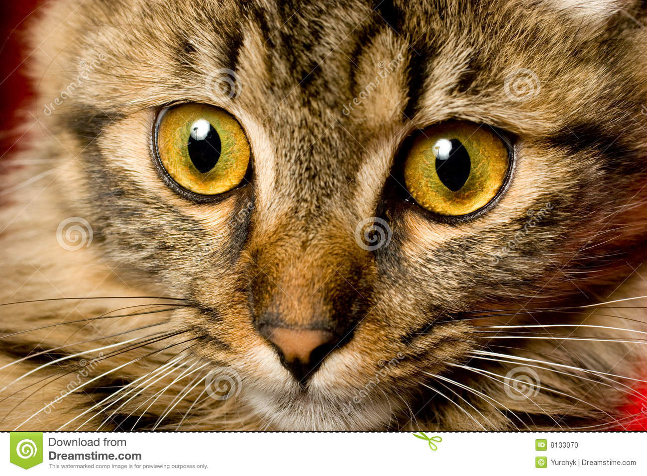 Funny Looking Cats Face Stock Image