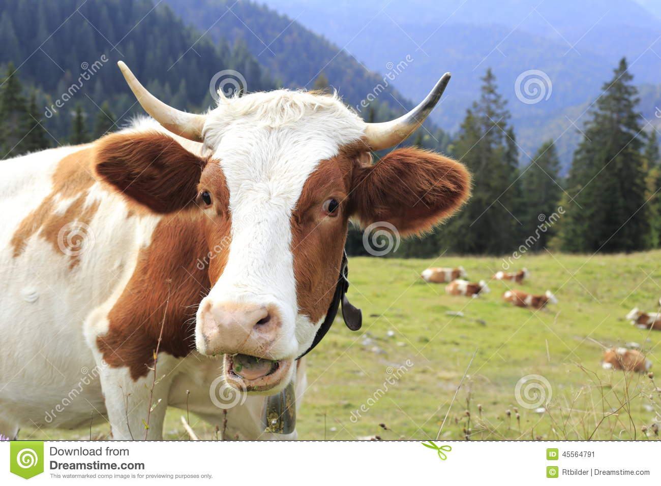 funny looking cow stock photo image 45564791