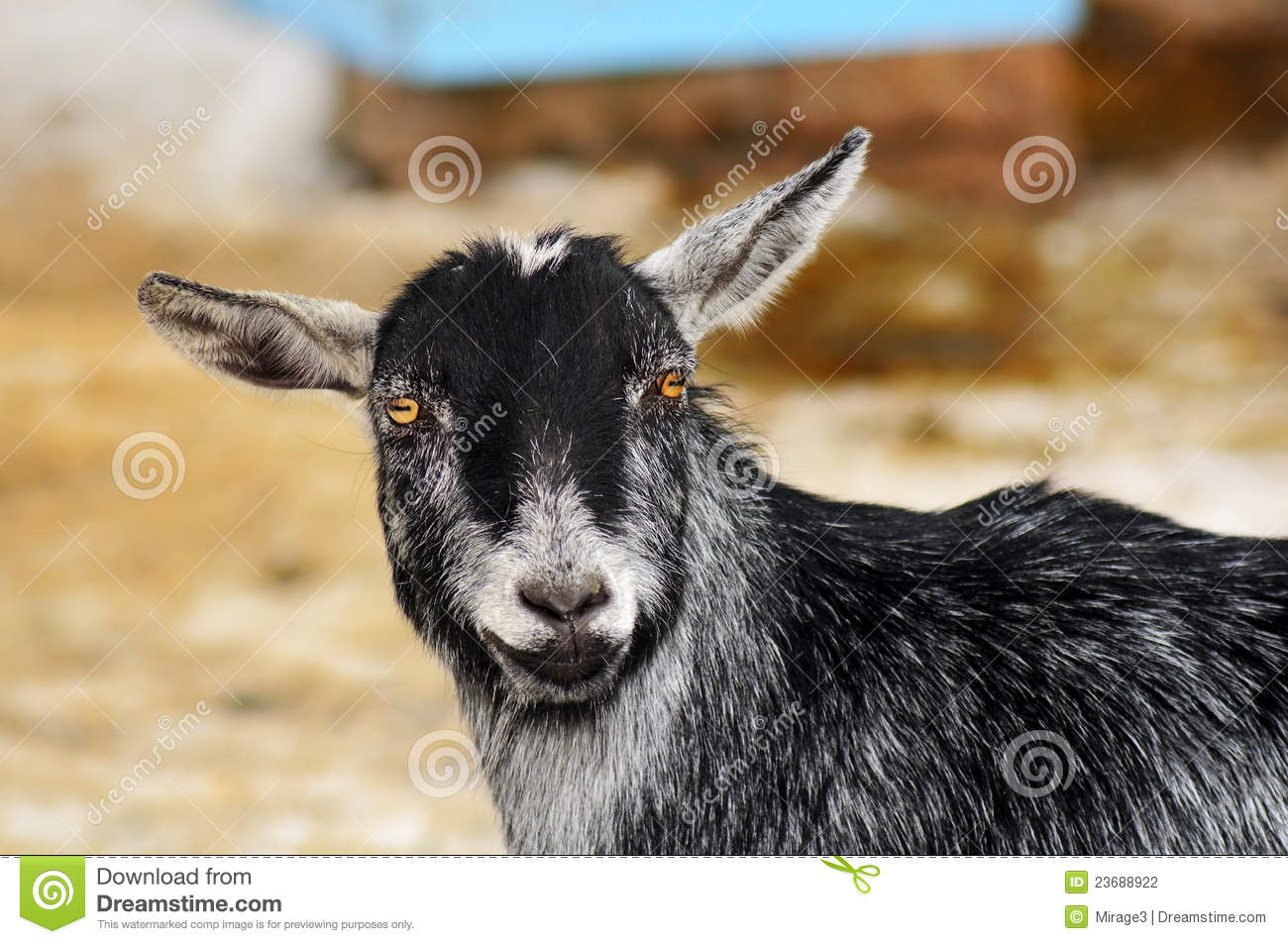 funny looking goat - photo #19