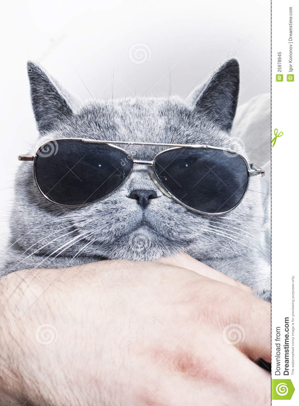 Funny Muzzle Of Gray British Cat In Sunglasses Royalty