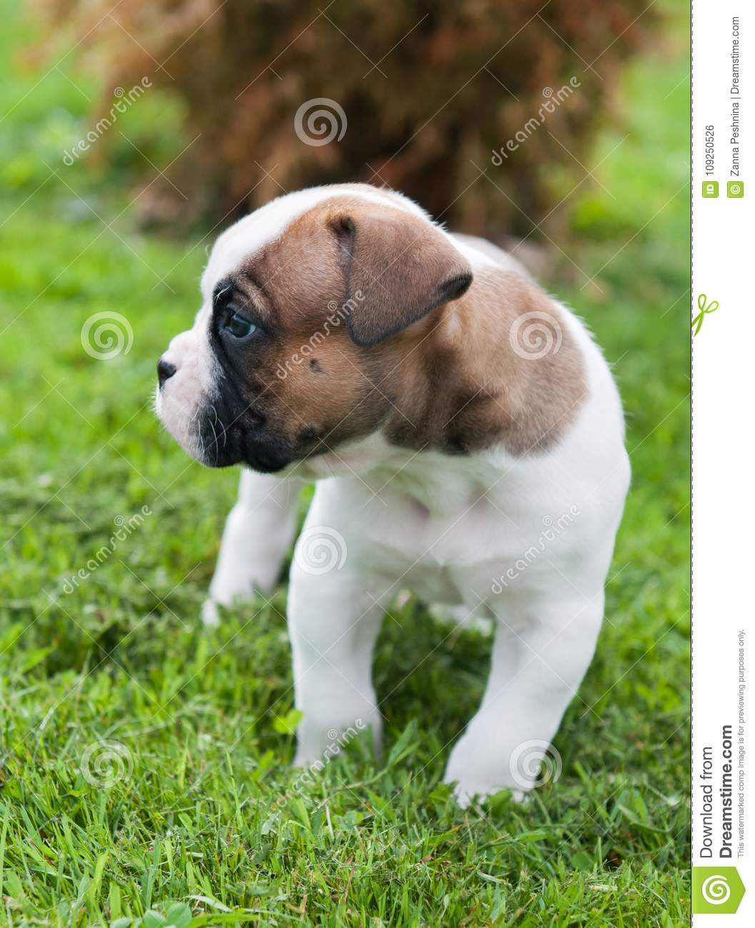 Funny Nice Red American Bulldog Puppy On Nature Stock Photo Image Of Playing Portrait 109250526