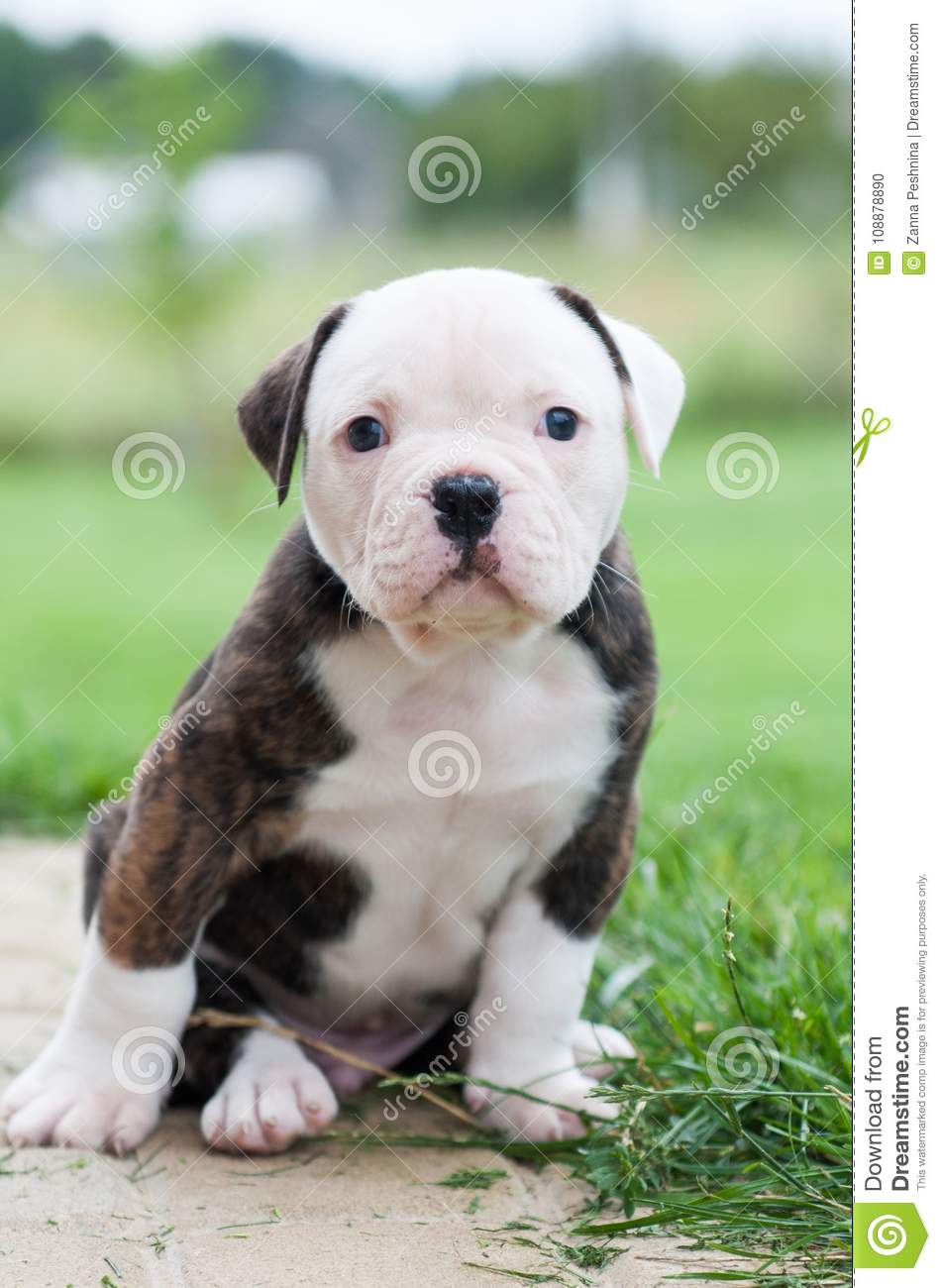 Funny Nice Red Tiger Coat American Bulldog Puppy Is Walking On Nature Stock Photo Image Of Care Bright 108878890