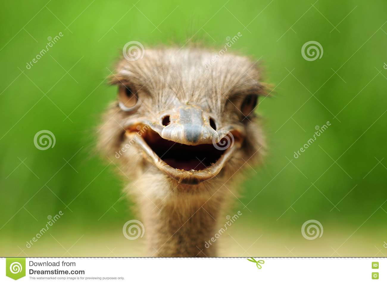 Funny Ostrich Stock Image  Image Of Funny  Ratitis  Head