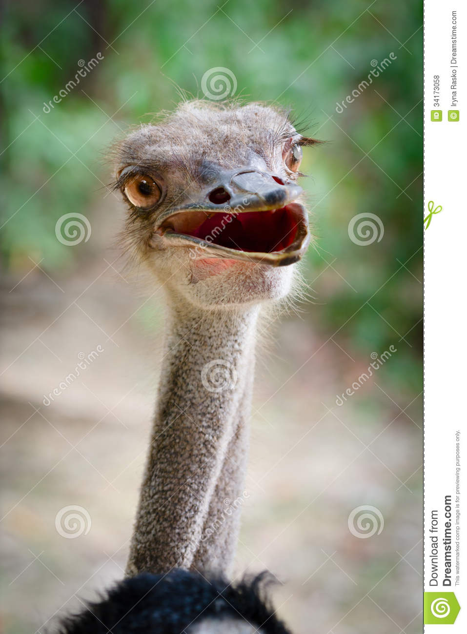 Royalty Free Stock Photos Funny Ostrich Bird Head Stupid Look Image341...