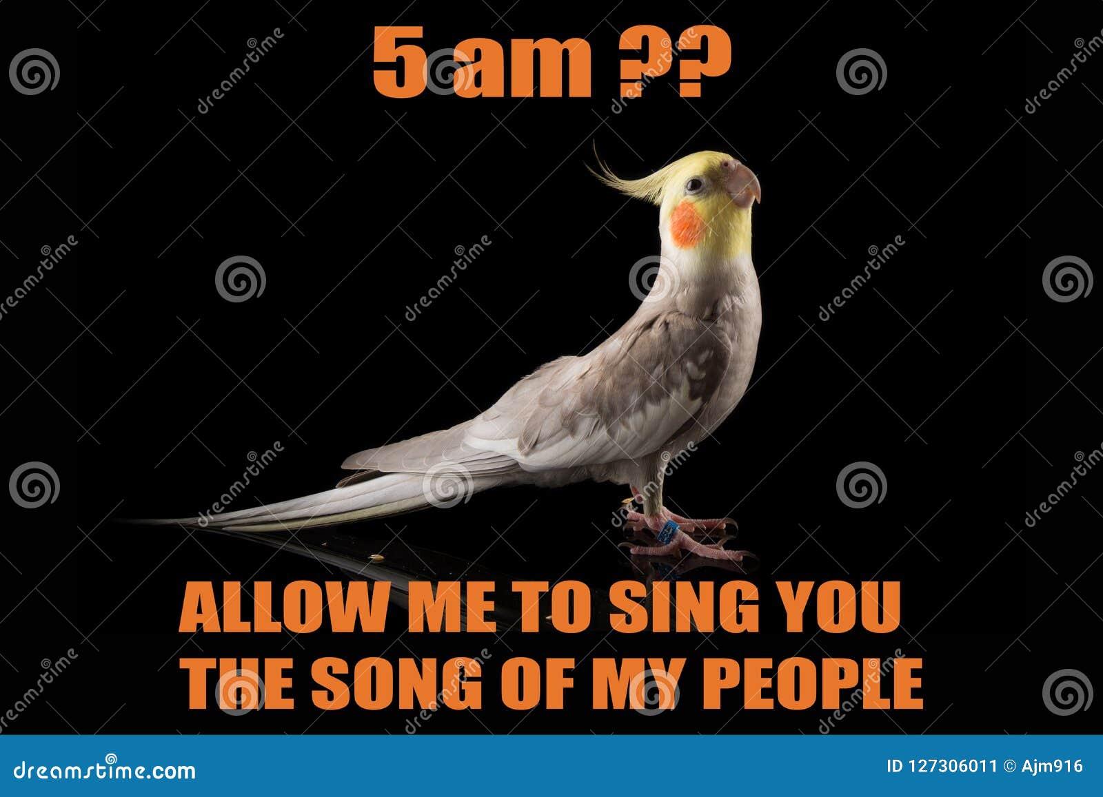 Funny Parrot Meme Cockatiel Portrait 5 Am Let Me Sing You The