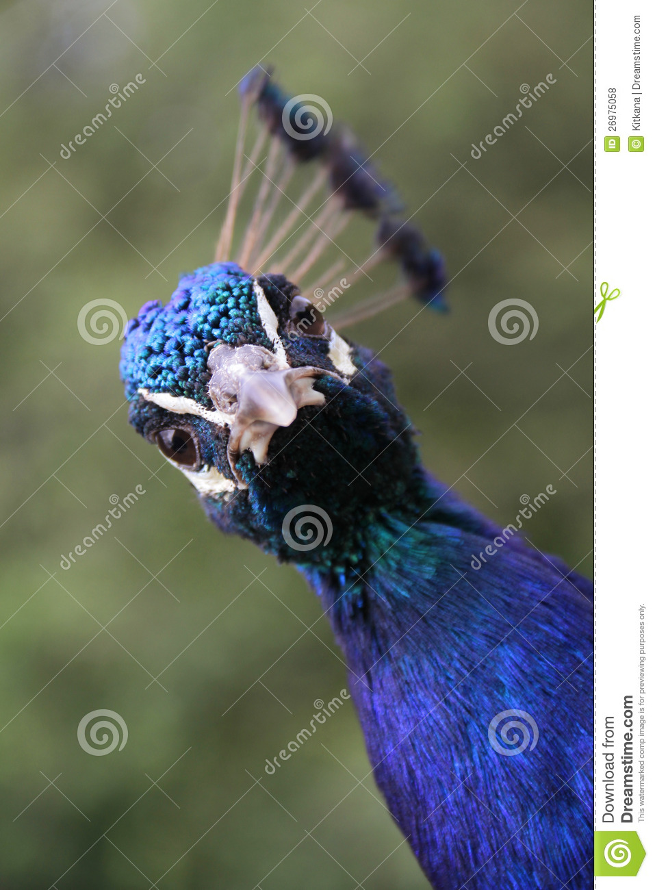 funny peacock portrait royalty free stock photos   image 26975058