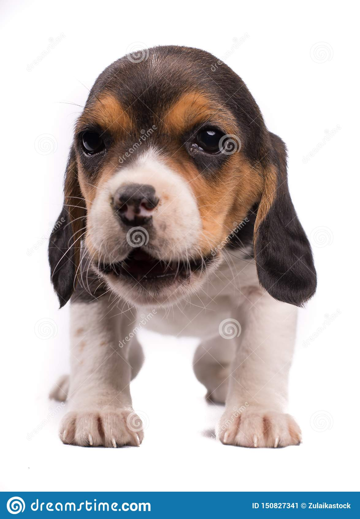 Funny photo of a dog, puppy beagle with the mouth opened eating something